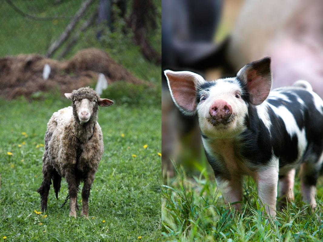 Ovca, sviňa, zamestnanec, podnikateľ.